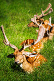A group of deer.. Royalty Free Stock Images