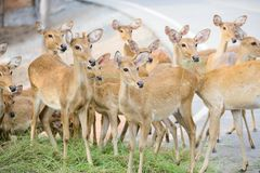 Group of deer looking something at the same spot. Deer are mammal forming the family Cervidae. They feeding grass but something make them look at same spot at Royalty Free Stock Photo