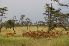 Group of deer in Serengeti, male with group of fem. Group of female deer and male deer in landscape at the Serengeti National park, Tanzania Royalty Free Stock Image