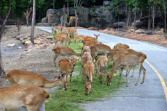 Group Deer Royalty Free Stock Images