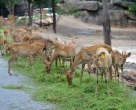 Group Deer Royalty Free Stock Image