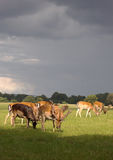 Group of deer before the storm. A group of deer grazing while a storm is developing in the background stock photography