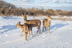Group of Deer 7705. Three deer at the beach foraging for food in the snow Royalty Free Stock Photography