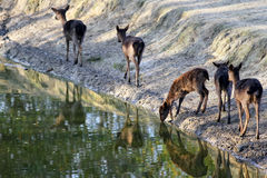 Group of deer walking by the river Stock Photos