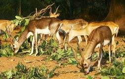 Group of deers Stock Photos