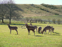 Group of deers Royalty Free Stock Image