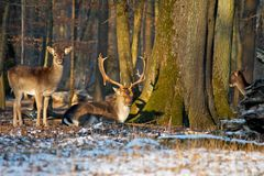 Group of deers. Deer in the evening sun of Karlsruhe forest, Germany Stock Image
