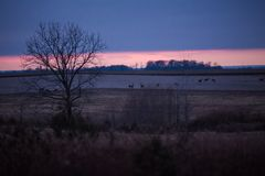 Group of Deers and Does Grazing in American Fields at Dusk in Wi royalty free stock image