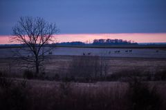 Group of Deers and Does Grazing in American Fields at Dusk in Wi stock photo