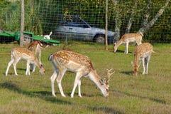 Group of deers. In a garden Stock Photos