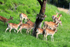 A group of deers looking behind a tree and be vigilant on guard on a green meadow Stock Images