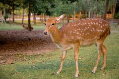 Brown deer walking on meadow in the open zoo safari in Thailand. stock photos