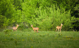 Group of deers. Group of three deers at the tree line in the forest Stock Image