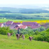 Group of deers walking around with village in background Stock Images