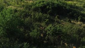 Young deer walk between bushes and trees in a reserve in southern Russia. A group of deers are walking in a reserve in southern Russia. Around the green grass stock video footage