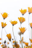 Group of delicate orange daisies againts sky Royalty Free Stock Photos