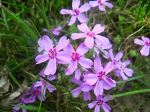 group of delicate small flowers with purple petals growing i royalty free stock photos