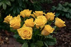 A group of delicate yellow roses stock photo