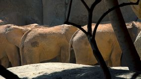 Group of desert elephants on a hot summer day, trying to socialize, ultra hd 4k, real time stock video footage
