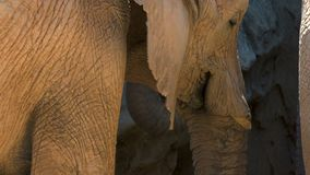 Group of desert elephants on a hot summer day, trying to socialize, ultra hd 4k, real time stock footage