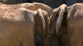 Group of desert elephants on a hot summer day, trying to socialize, ultra hd 4k, real time stock video
