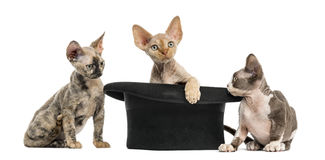 Group of Devon rex with a hat isolated on white stock images