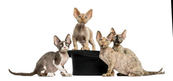 Group of Devon rex with a hat isolated on white royalty free stock image