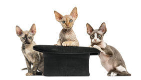 Group of Devon rex with a hat isolated on white Royalty Free Stock Photography