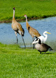 Group of different birds sharing a pond Royalty Free Stock Photo