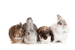 Group of different breeds rabbits Royalty Free Stock Photography
