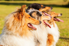 Group of different collies in a row Royalty Free Stock Photos