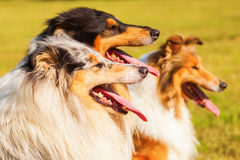 Group of different collies in a row Royalty Free Stock Photo