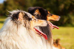 Group of different collies in a row Royalty Free Stock Photography