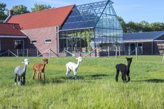 Alpaca group in a field behind a house with greenhouse royalty free stock photo