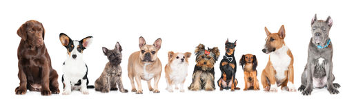 Group of different dogs. Group of small dogs on white Stock Photography