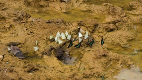 Group of Different Kinds of Butterflies Take Off and Flying in slow motion Over the Tropical Clay Soil. Group of Different Kinds of Butterflies Take Off and stock footage