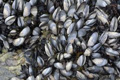 Group of Different Mussels Background stock photo