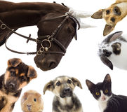 Group of different pets. Puppy and kitten and guinea pig and horse and rat royalty free stock photo