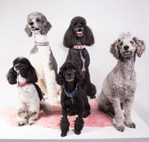 Group of different poodles Stock Images
