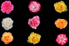 Group of different roses isolated Stock Images