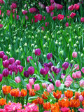 Group of differnt colour Tulip with green leaf Stock Photos