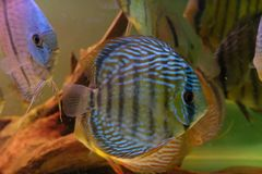 Group of Discus Fish in tropical aquariums. Group of Discus Fish in tropical aquarium swimming around their log royalty free stock image
