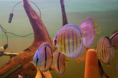 Group of Discus Fish in tropical aquariums. Group of Discus Fish in tropical aquarium swimming around their log stock images