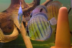 Group of Discus Fish in tropical aquariums. Group of Discus Fish in tropical aquarium swimming around their log stock image