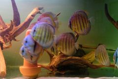 Group of Discus Fish in tropical aquariums. Group of Discus Fish in tropical aquarium swimming around their log stock photos