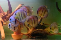 Group of Discus Fish in tropical aquariums. Group of Discus Fish in tropical aquarium swimming around their log stock photo