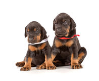 Group of dobermann puppies Royalty Free Stock Photos