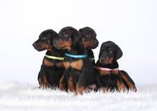 Group of dobermann puppies Royalty Free Stock Photos