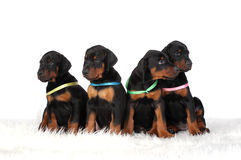 Group of dobermann puppies Stock Photography