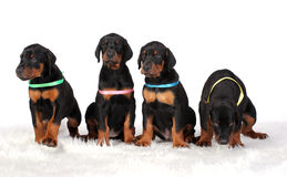 Group of dobermann puppies Stock Images